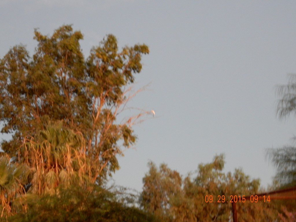 Date palm tree with white crane