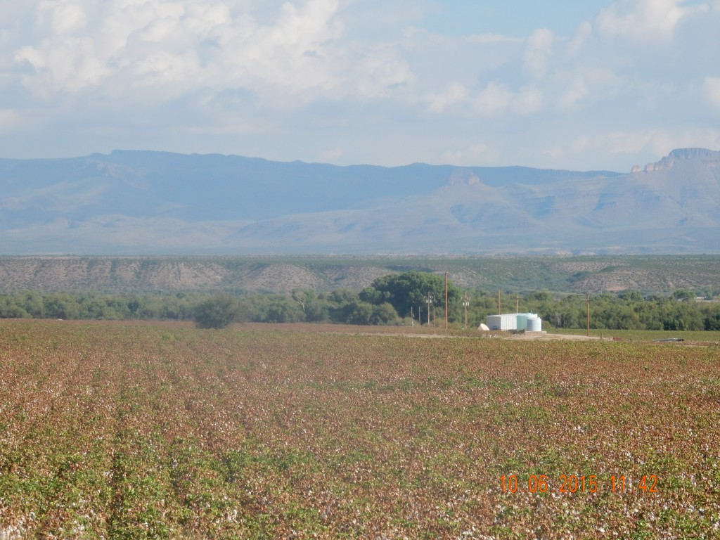 Cotton fields near Safford AZ