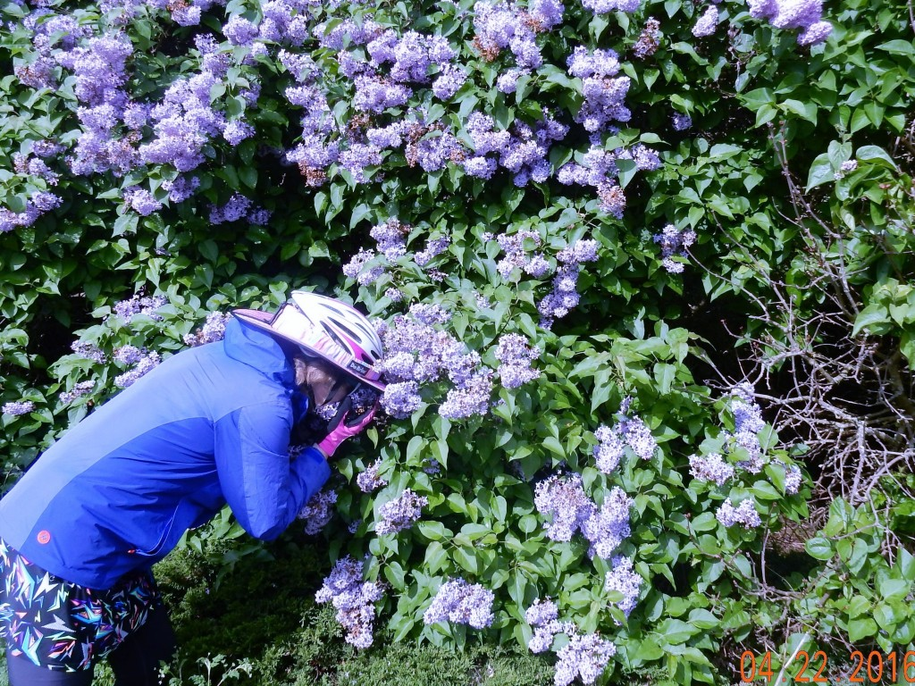 Taking time to stop and smell the... lilacs