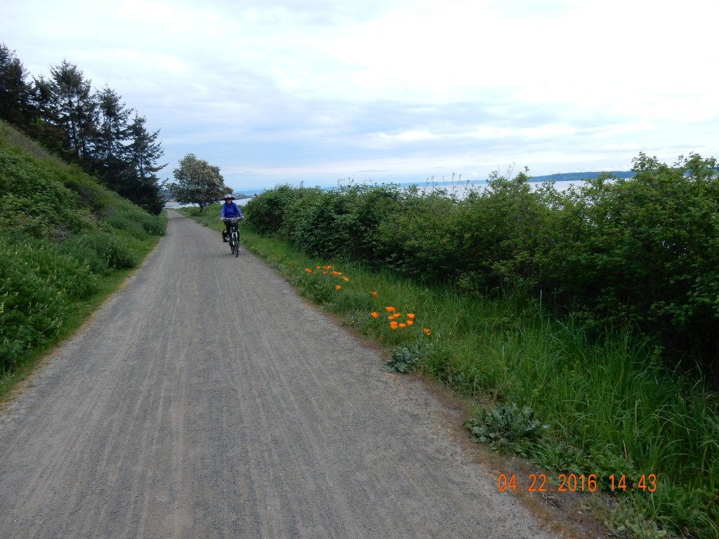 The Larry Scott Bike Trail along Port Townsend Bay, beautiful orange poppies
