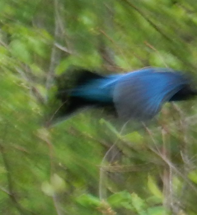 Stellar's Jay in flight