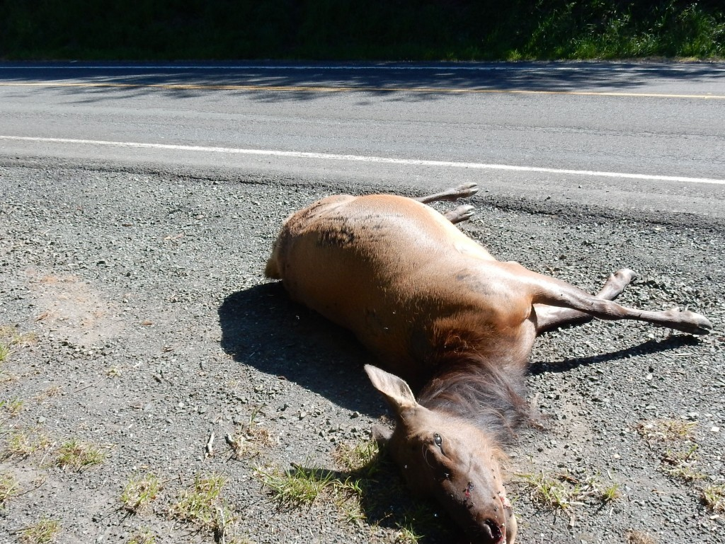 Sad, dead elk doe