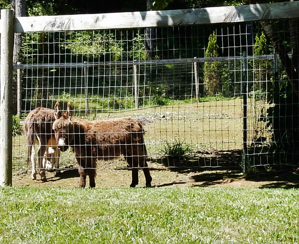 Miniature Donkeys along Cedar Valley road