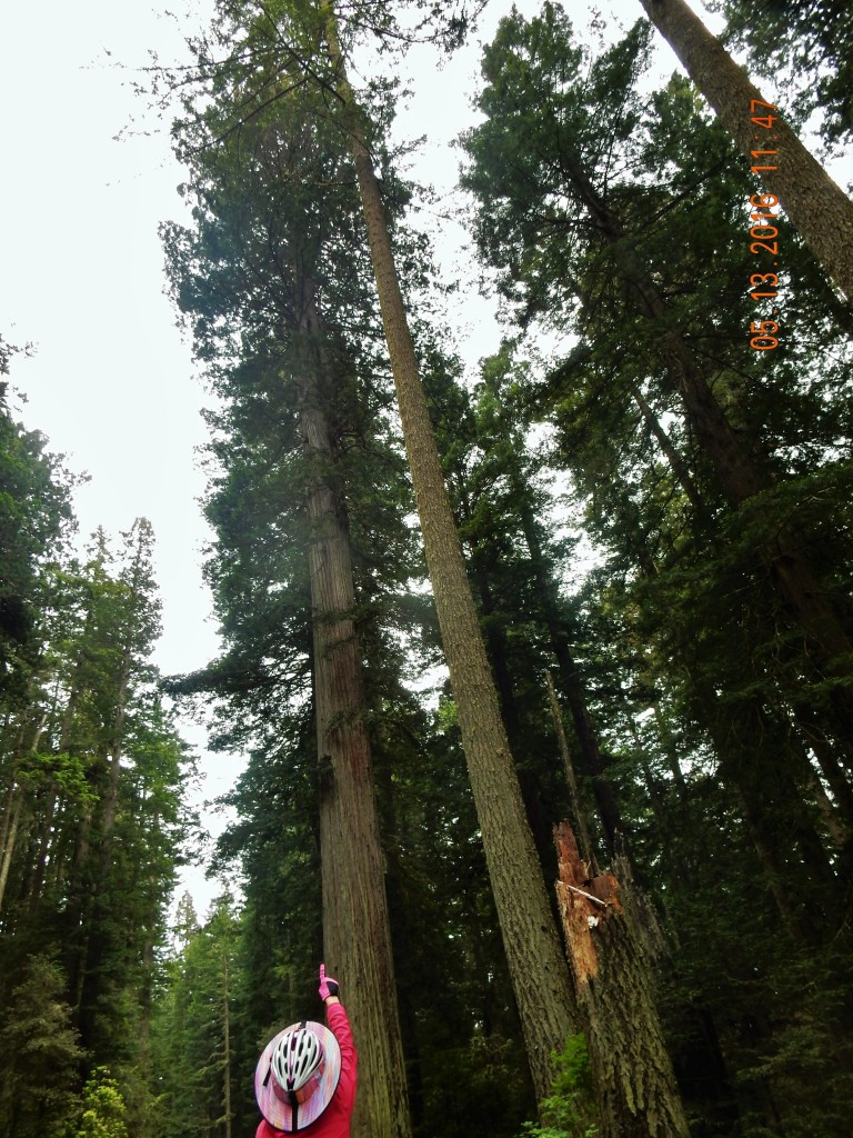 As the redwoods climb to the sky, I cycled to the top!