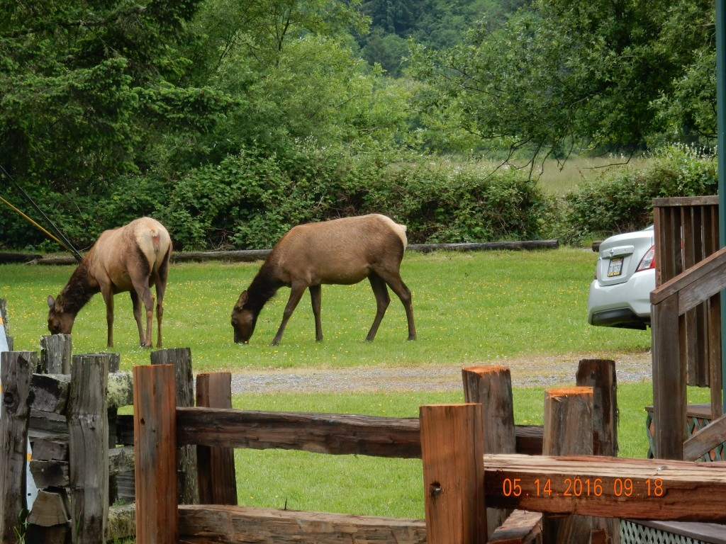 and more elk