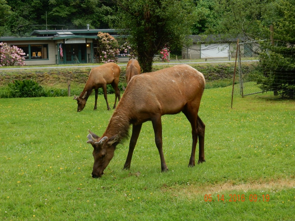 Grazing elk, Elk Meadow