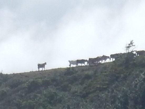 Cows on the ridge