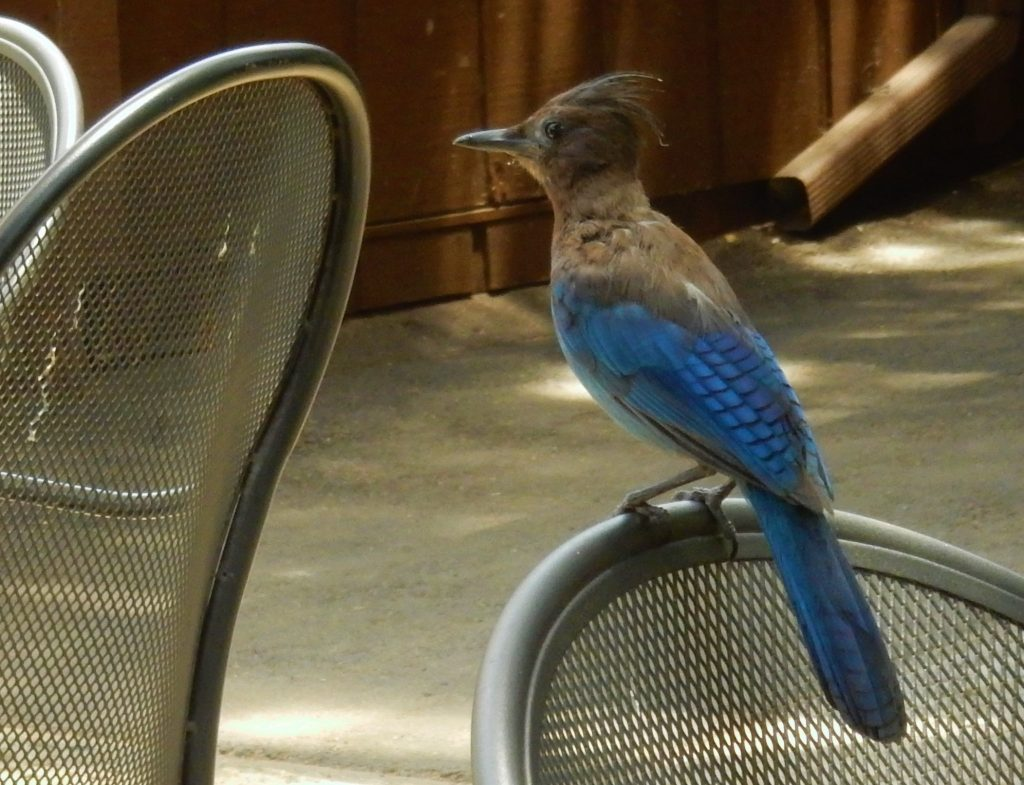 California blue jay joined us at lunch