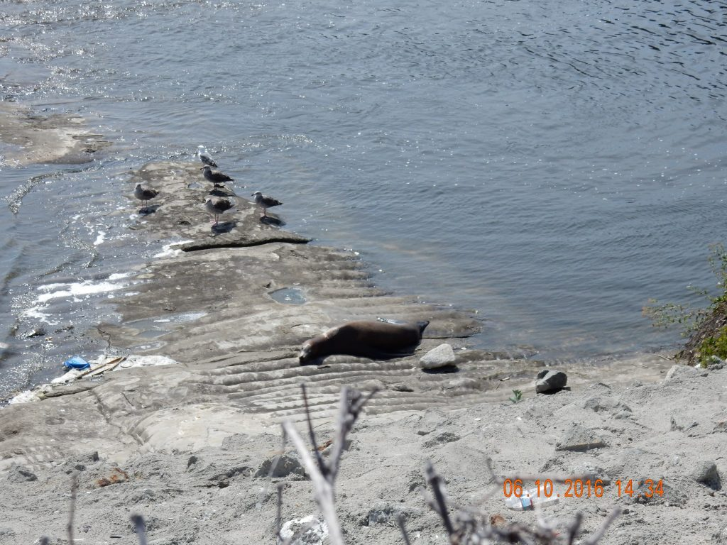 Seal in the Los Angeles River - out of place
