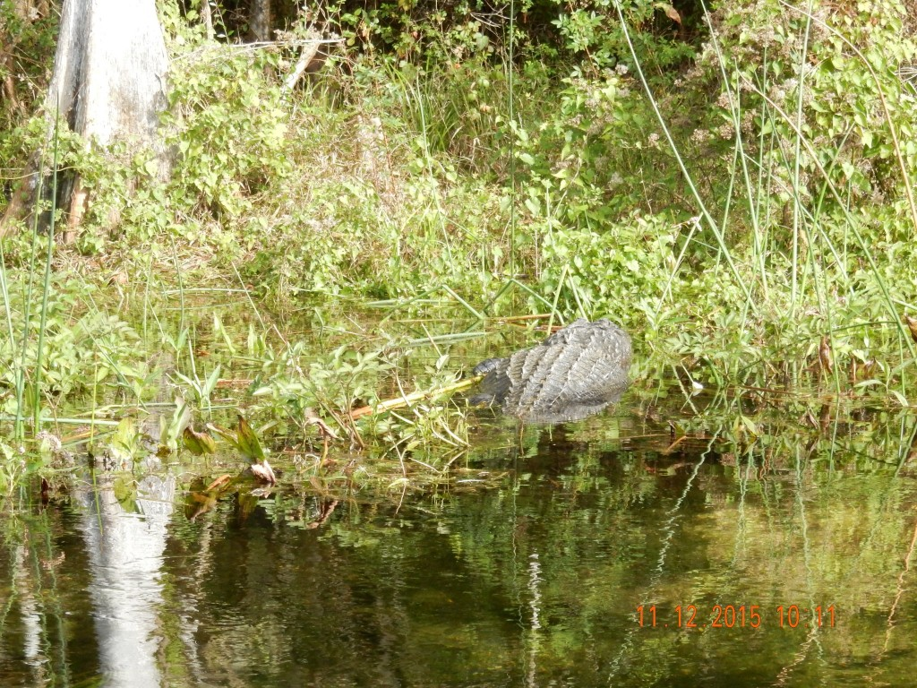 Gator in the weeds
