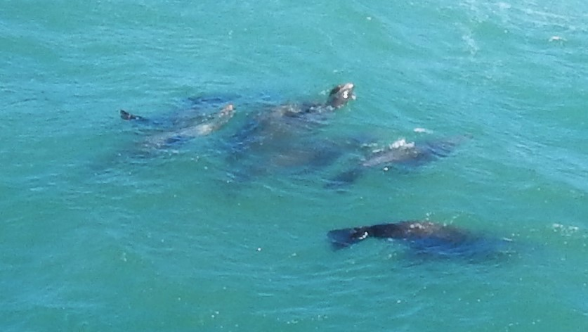 Sea Lions! for free viewing