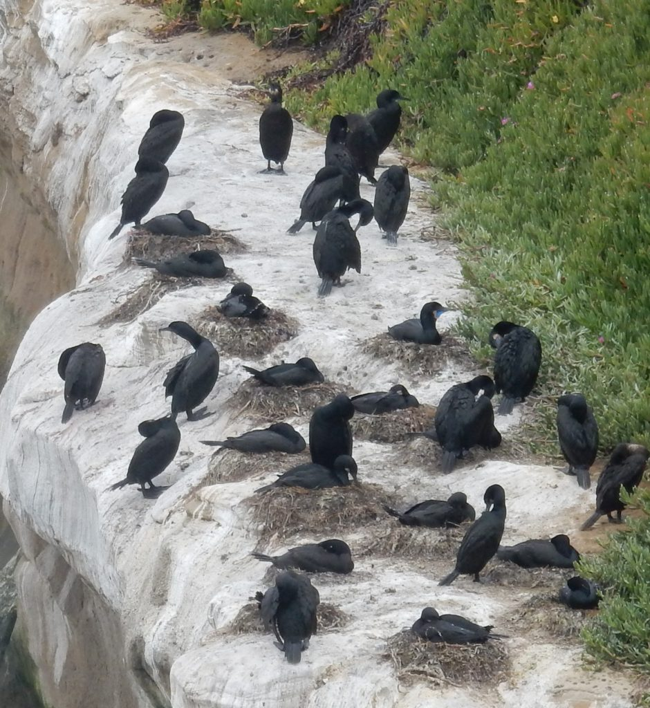 Brandt's Cormorants on the coastal trail to Santa Cruz